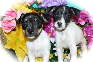 Picture of Rat Terrier Mix