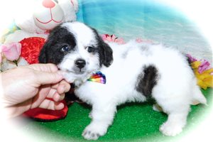 Picture of Shihpoo X