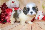 Picture of Tiny Shihtese Puppy. Nonshedding. Financing!