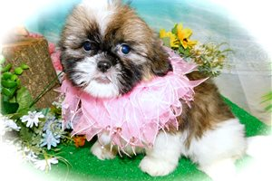 Picture of Shih Tzu Girl