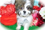 Picture of  Shihpom Baby. Prespoiled. Financing.