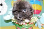 Picture of Sweet Shihpom Rare Blue