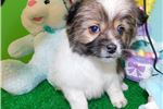 Picture of Chicago Shihpom Male. Super Cute. Vet Checked