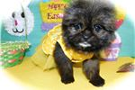 Picture of Chicago Shihpom  Super Cute. Vet Checked