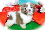 Picture of Chicago Shihpom. Prespoiled. Financing!