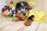 Picture of Chicago Yorkshire Terrier Girl Nonshedding.