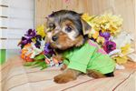 Picture of Chicago Yorkshire Terrier. Boy. Nonshedding.