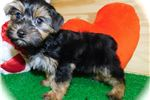 Picture of Toy Shorkie Boy  Nonshedding. Great 4 Kids.