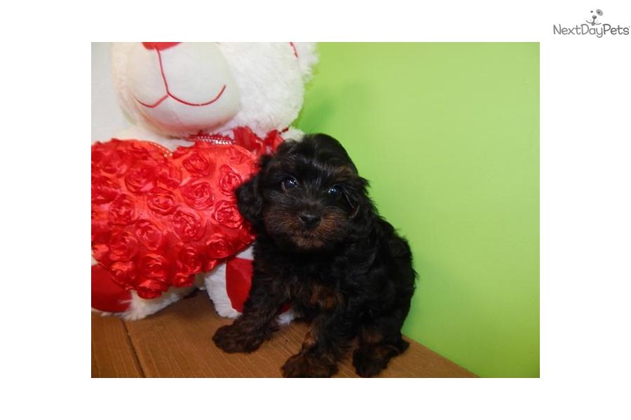 Yorkiepoo Yorkiepoo Yorkie Poo Puppy For Sale Near Chicago