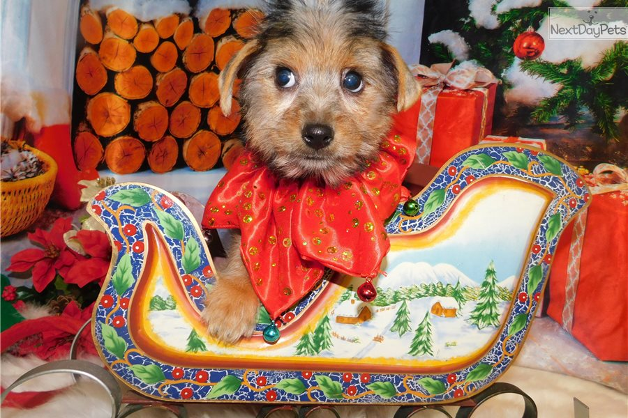 Yorkie Girl Yorkshire Terrier Yorkie Puppy For Sale Near Chicago