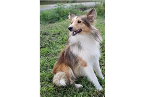 AKC Gloria | Puppy at 17 months of age for sale