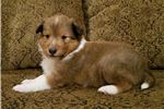Picture of Gavin - AKC Registered Sheltie male puppy