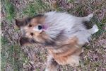 Picture of Summer - AKC adult Sheltie female