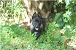 Picture of DARK/SILVER MALINOIS PUPPY