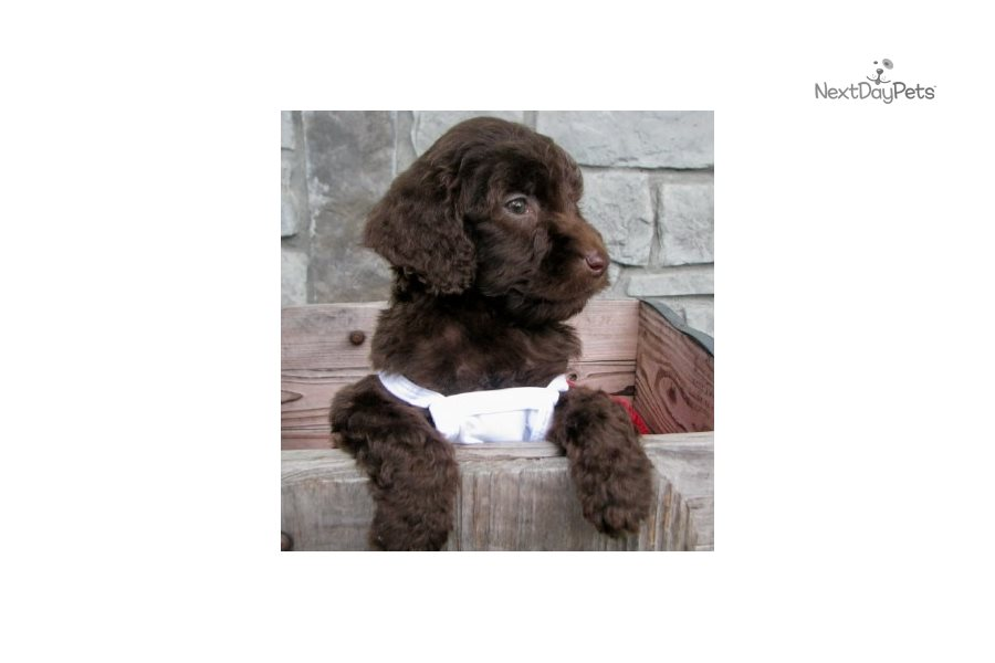 goldendoodle haircut my favorite dog doodle and abby gorgeous goldendoodle puppy for sale near wichita
