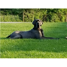 View full profile for Shockey's Great Danes