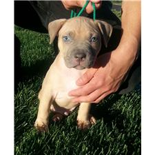 View full profile for Blue and Fawn Pit Bulls