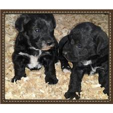 View full profile for 4C's Miniature Schnauzers