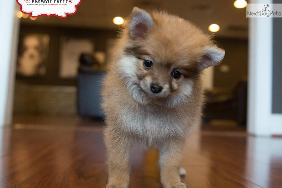 pomeranian puppies for sale in washington pomeranian puppy for sale near washington dc c2457f33 f461 5558