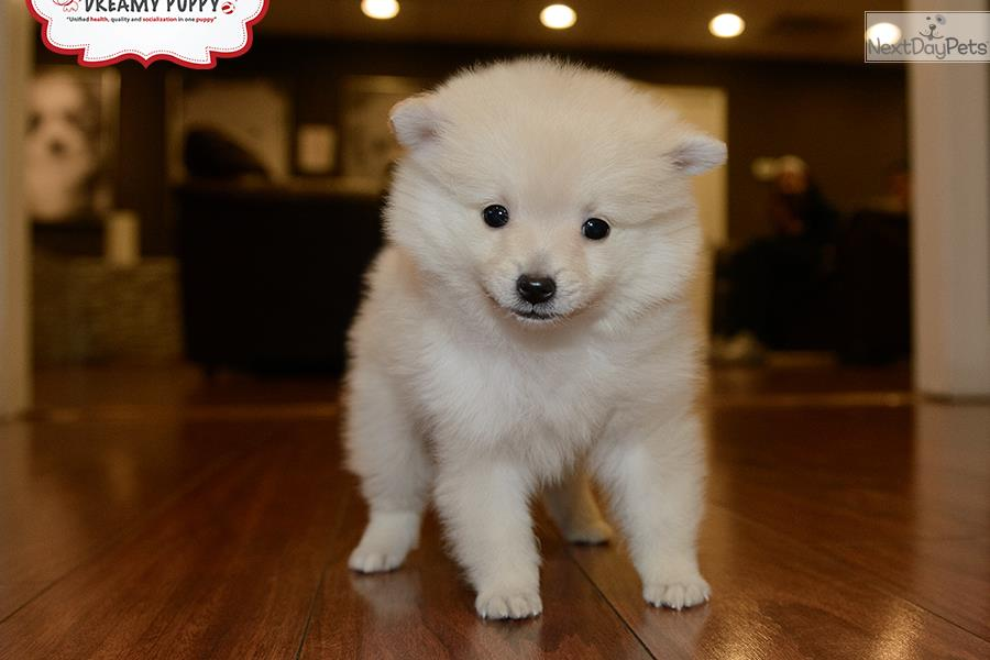 pomeranian puppies for sale in washington pomeranian puppy for sale near washington dc 2629be9e d661 8223