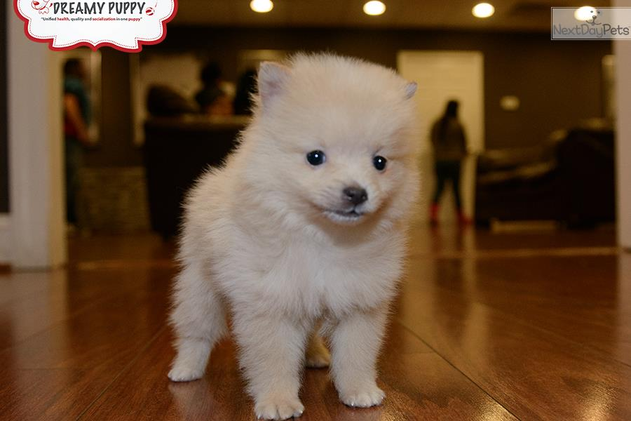 pomeranian puppies for sale in washington pomeranian puppy for sale near washington dc 3e03b71d b1f1 3017