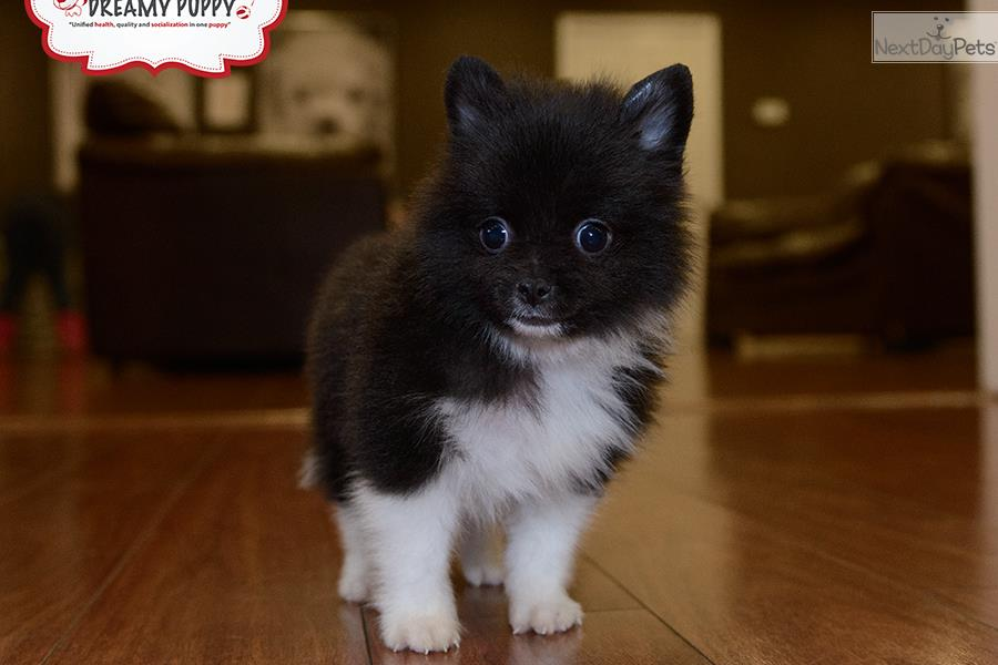 pomeranian puppies for sale in washington pomeranian puppy for sale near washington dc 0faf064f e941 5904