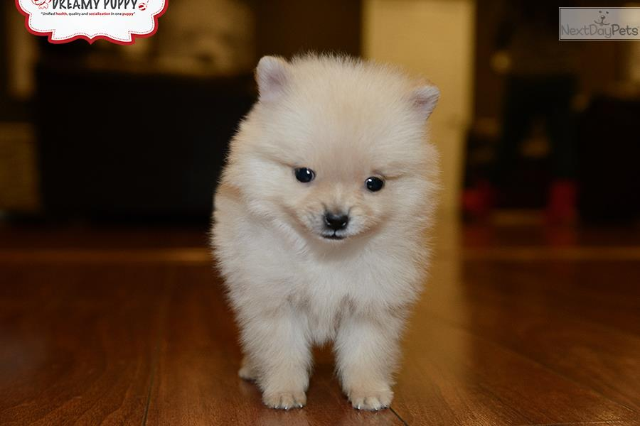 pomeranian puppies for sale in washington pomeranian puppy for sale near washington dc 226027e4 0c01 252