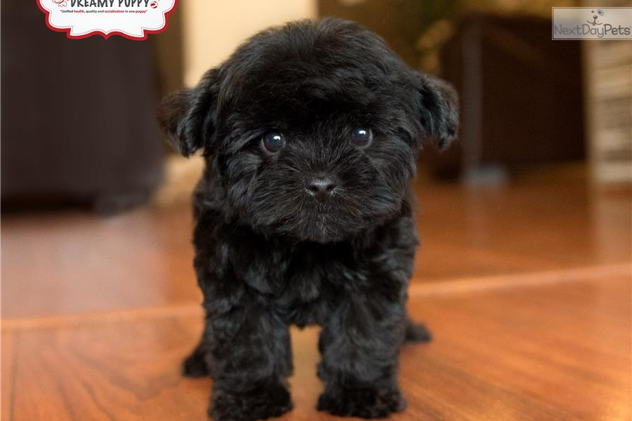 Meet Male A Cute Yorkiepoo Yorkie Poo Puppy For Sale For