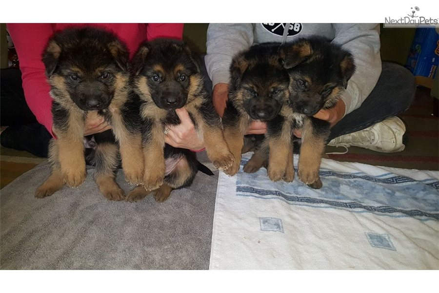 German Shepherd Puppy For Sale Near Baltimore Maryland A969e6b6 8f81
