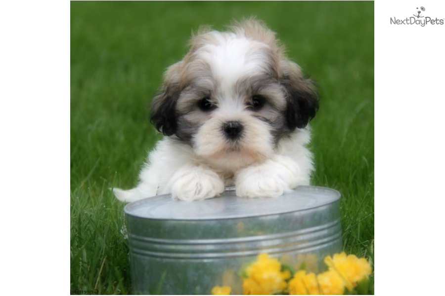 Female Shichon Puppy For Sale Near Pittsburgh Pennsylvania