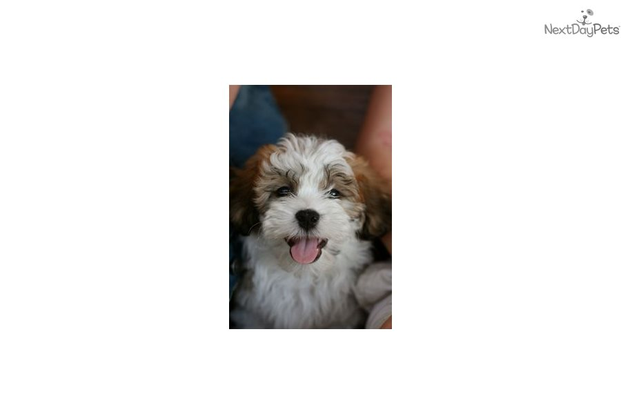 Bobby: Shichon puppy for sale near Pittsburgh, Pennsylvania