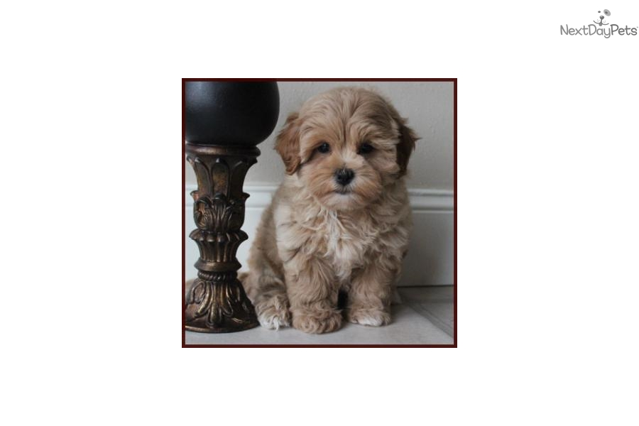 764cbb1a822 Lady  Shichon puppy for sale near Pittsburgh