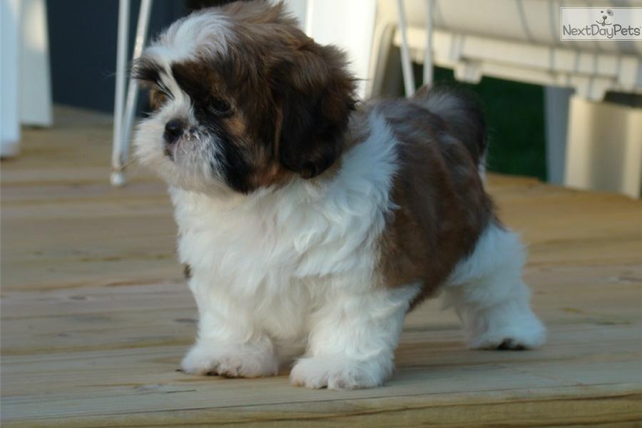 akc shih tzu puppies for sale dogs and puppies for sale and adoption oodle marketplace 6083