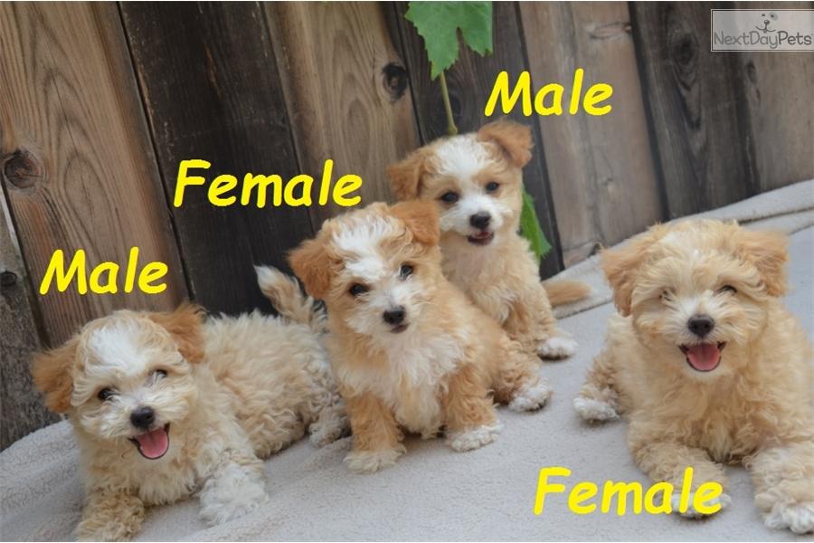 Malti Poo - Maltipoo puppy for sale near San Diego