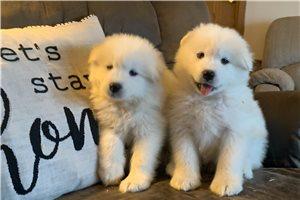 Samoyeds for sale