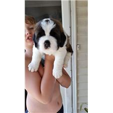 View full profile for Brick House Saint Bernards