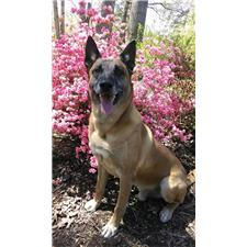 View full profile for E.W. Brown And Son's Belgian Malinois