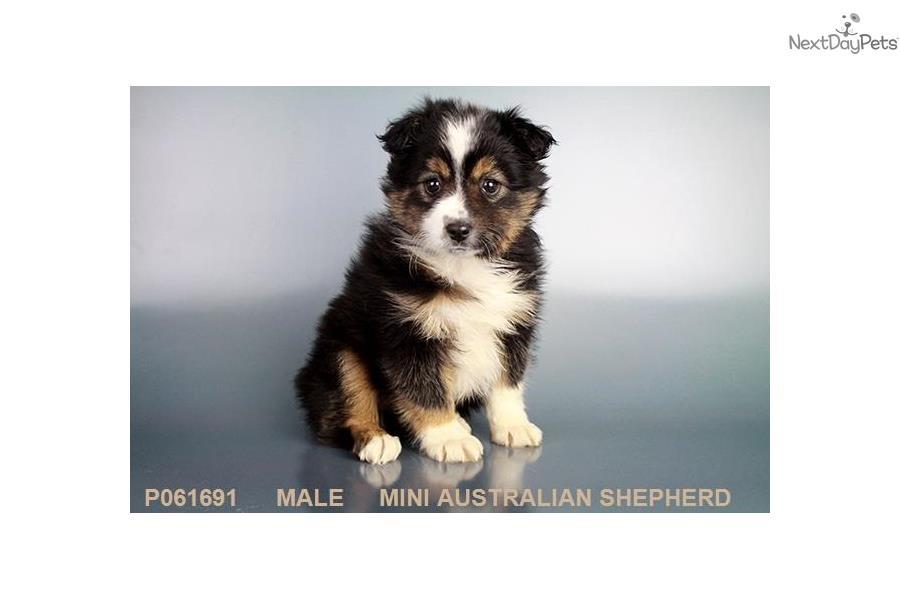 Miniature Australian Shepherd Puppy For Sale Near Los