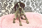Picture of Gunner the German Wirehaired Pointer