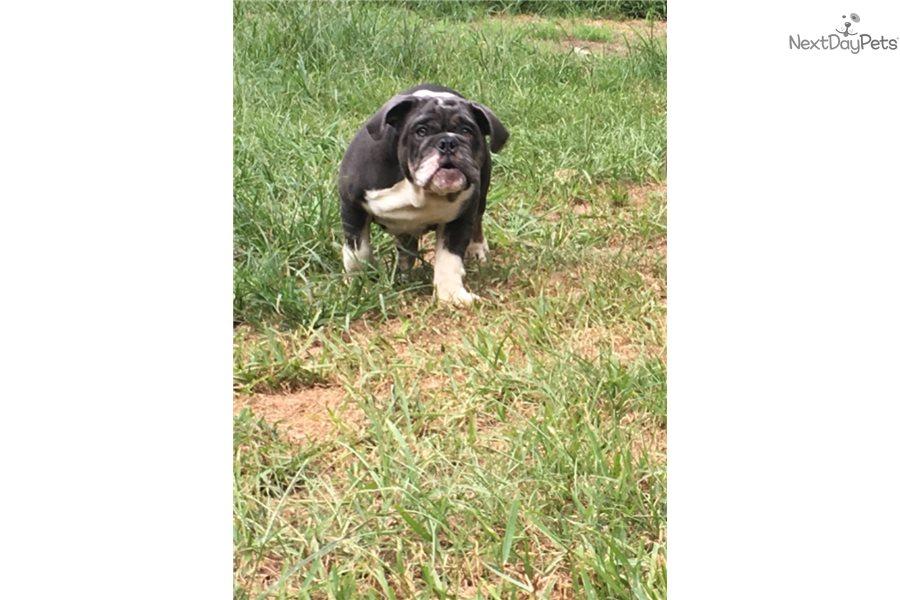 Blue River English Bulldog Puppy For Sale Near Houston Texas
