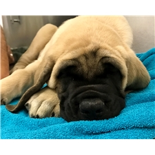 View full profile for Lone Star Mastiff