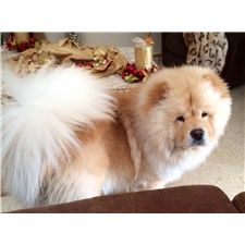 View full profile for Teddy Bear Chows