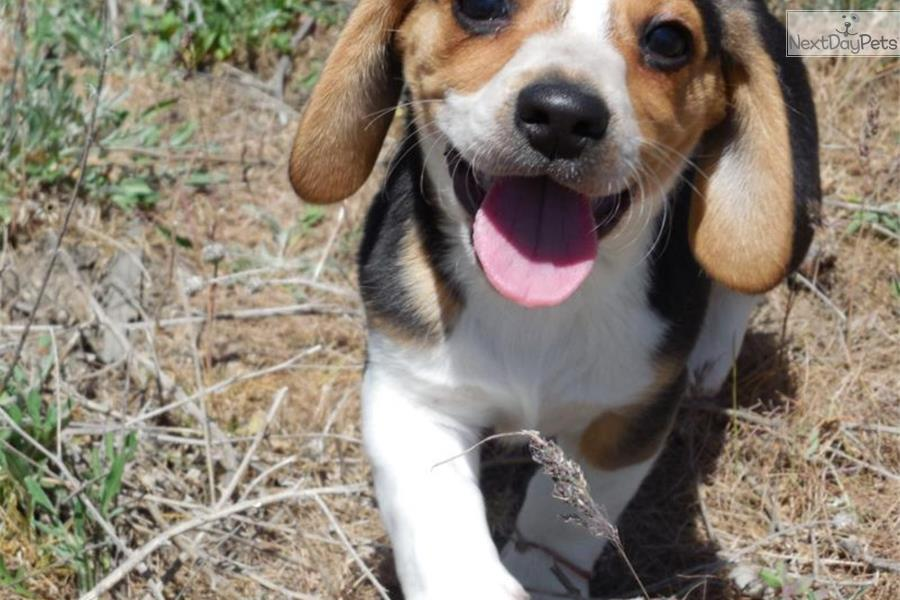 Beagle puppy for sale near Missoula, Montana | f76a33fb-4f51