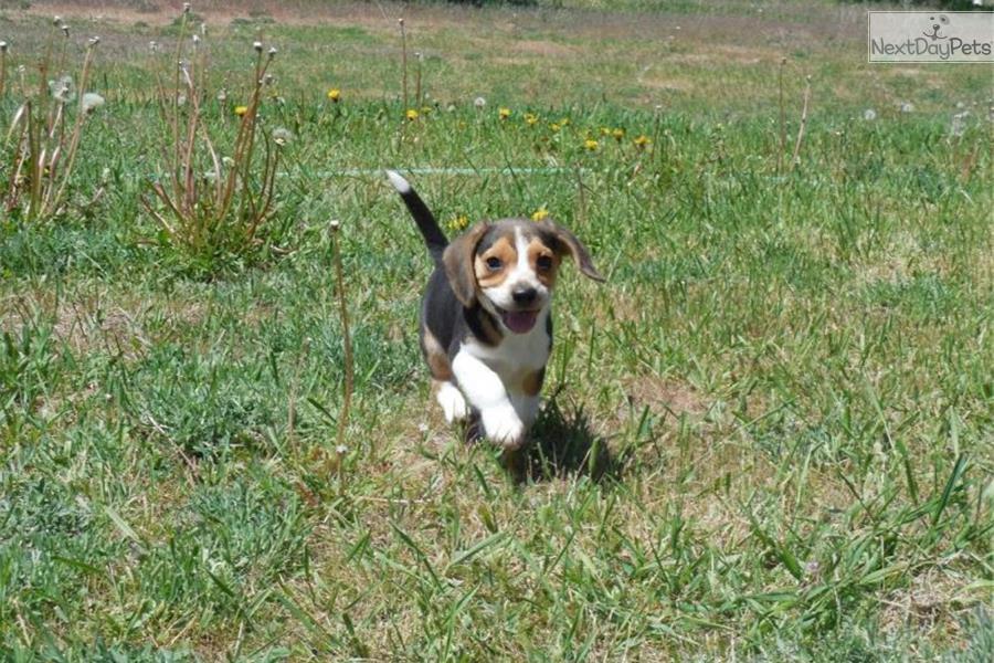 Beagle puppy for sale near Missoula, Montana | 027e7f32-c211