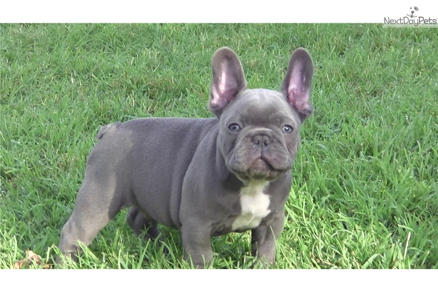 Diamond French Bulldog Puppy For Sale Near Budapest Hungary