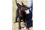 Picture of Dutch Shepherd Pup