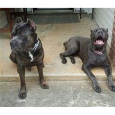 View full profile for Cavaza Cane Corso