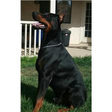 View full profile for Guardian Dobermans