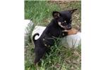Picture of a Pomchi Puppy