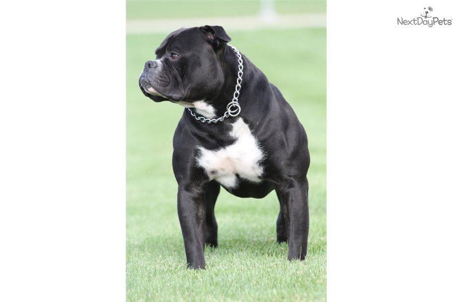 Baby Girl American Bulldog Puppy For Sale Near Chicago Illinois